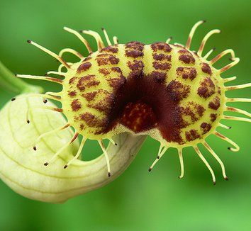 Aristolochia fimbriata 9 flower
