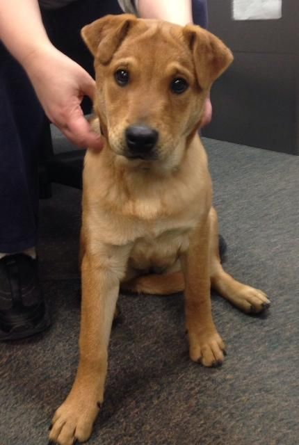Honey is a 5 month old female lab / shar pei mix. Her owners could no longer care for her. Honey is a very friendly, social and playful puppy. She is house trained. Honey will be a great family dog and companion. She currently weighs 25 lbs so she...