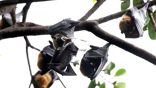 CAIRNS Regional Council is only weeks away from pulling the trigger on a controversial plan to shoo a colony of flying foxes from their inne...