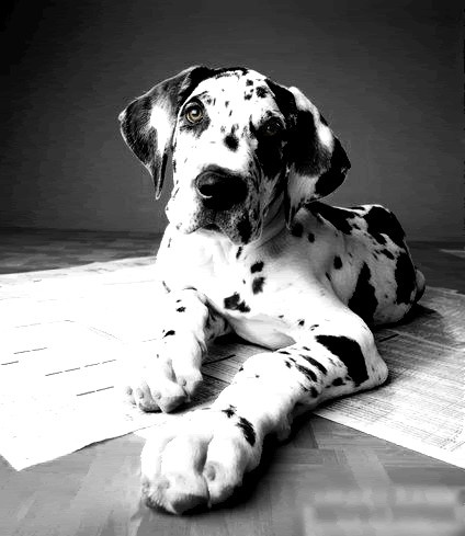 A Harlequin Great Dane puppy. This is my absolute dream dog!