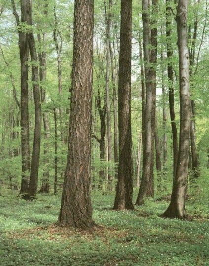 Utworzono: 1959 Powierzchnia: 332,15 ha. Położenie administracyjne: gmina Belsk Duży, powiat Grójec. Rezerwat lezy 1,5 km na północny zachód od wsi Belsk Duży. Ochroną objęto tu starodrzew lasu mie…