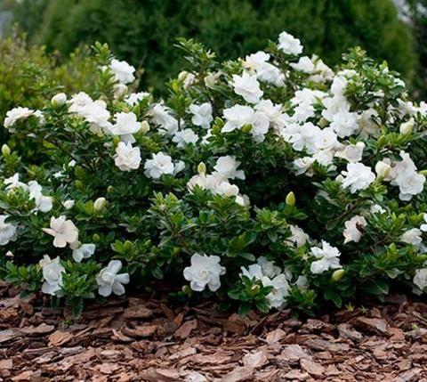 Crown Jewel Dwarf Gardenia  Height : 2-3 feet Width : 3-4 feet  Exposure : full sun to partial shade  Hardiness Zones - 7-10