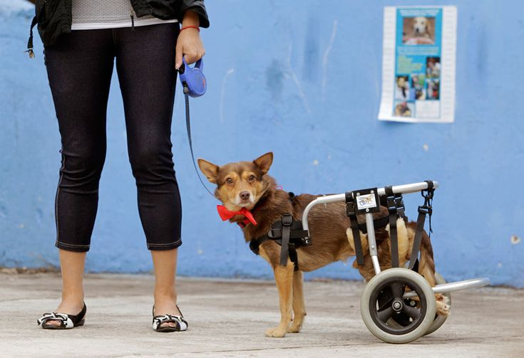 """A disabled dog named Christmas, during a charity event in Minsk, Belarus, on August 11, 2012. The Public Association for Animal Protection """"EGIDA"""" organized an event to match homeless dogs and cats to prospective new owners in the Belarusian capital on Saturday. (Reuters/Vasily Fedosenko)"""