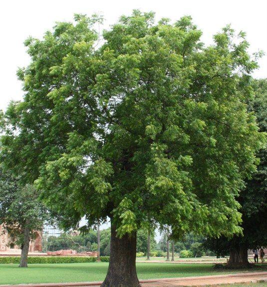 árvore-sombra-crescimento-rápido                                                                                                                                                                                 Mais