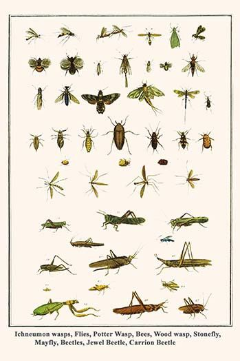 Ichneumon wasps, Flies, Potter Wasp, Bees, Wood wasp, Stonefly, Mayfly, Beetles, Jewel Beetle, Carrion Beetle