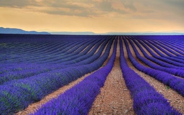 Lavender Field in Provence, France - Elite Envision