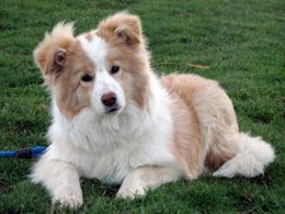 Australian Red Border Collie
