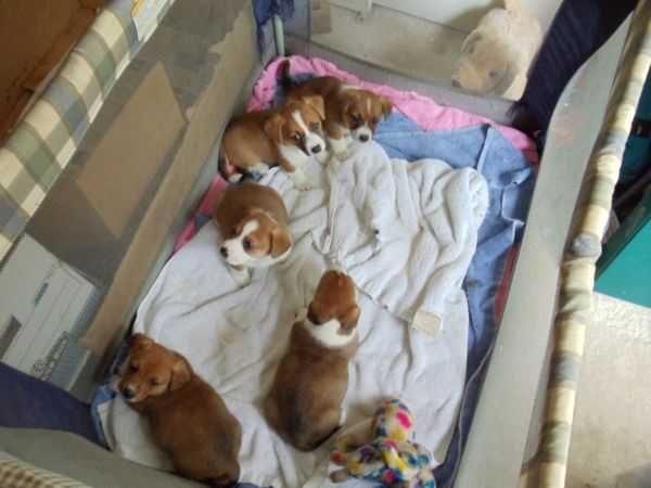 Corgi Chihuahua Mix Puppies | Corgi+mix+puppies+for+sale