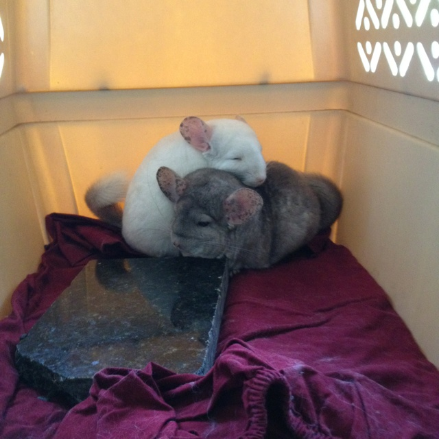 542 Best Chinchilla Things Images On Pinterest