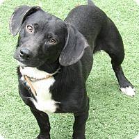 Adopt A Pet :: Bo (25 lb) Perfect Family Pet - Twinsburg, OH