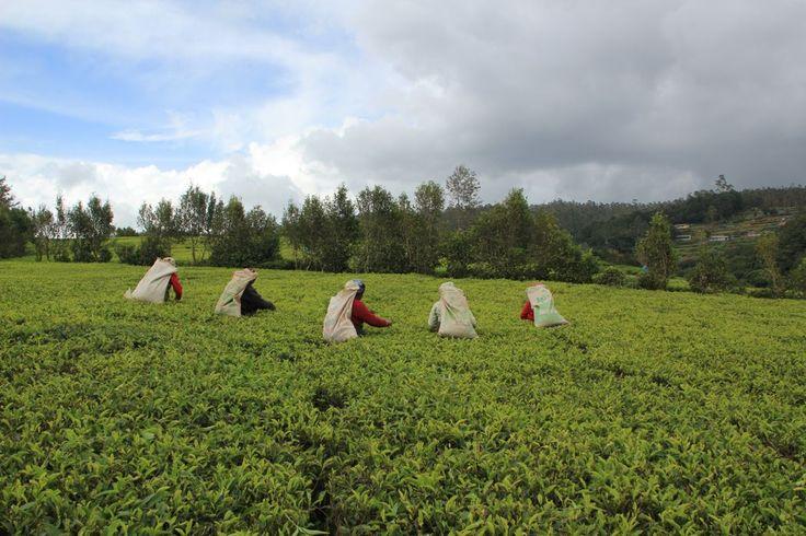 Mujeres tamiles recolectando hojas de té en Nuwara Eliya, Sri Lanka