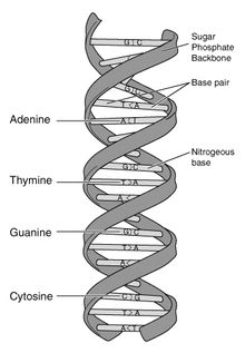 The Nucleic Acid is so important because it is are DNA. Our DNA helps us function. And our RNA helps the DNA. It basically assists the DNA to keep stable.