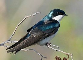 Tree Swallow. Handsome aerialists with deep-blue iridescent backs and clean white fronts, Tree Swallows are a familiar sight in summer fields and wetlands across northern North America. They chase after flying insects with acrobatic twists and turns, their steely blue-green feathers flashing in the sunlight.