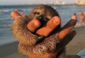 Perezoso bebe en una playa Costa Rica