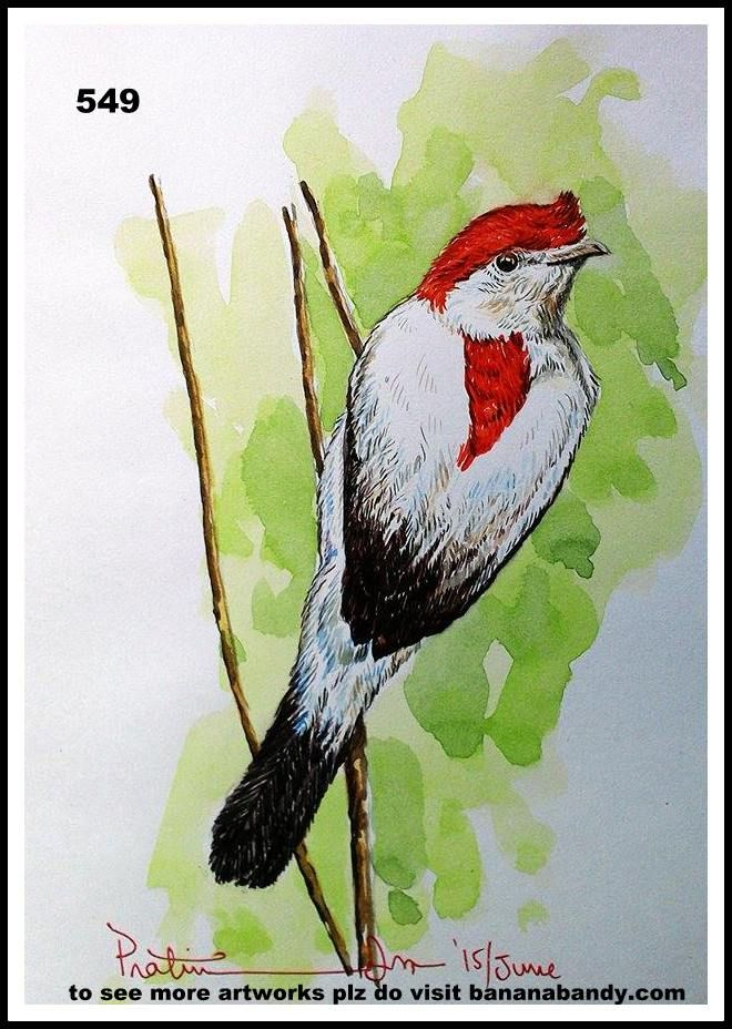 """FOREIGN BIRDS ON MY CANVAS # 23/549.. ARARIPE MANAKIN .... WATERCOLOUR ...A4... 2015 ... The Araripe manakin (Antilophia bokermanni) is a critically endangered bird from the family of manakins (Pipridae). It was discovered in 1996 and scientifically described in 1998. The species epithet commemorates Brazilian zoologist and wildlife filmmaker Werner Bokermann, who died in 1995. Because of its helmet-like crown it has received the Portuguese name soldadinho-do-araripe which means """"little…"""