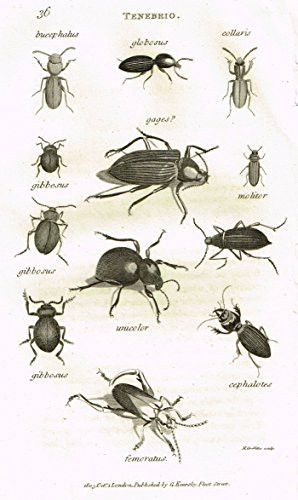 "Shaw's General Zoology - INSECTS - ""TENEBRIO COLLARIS"" - Copper Engraving - 1805"