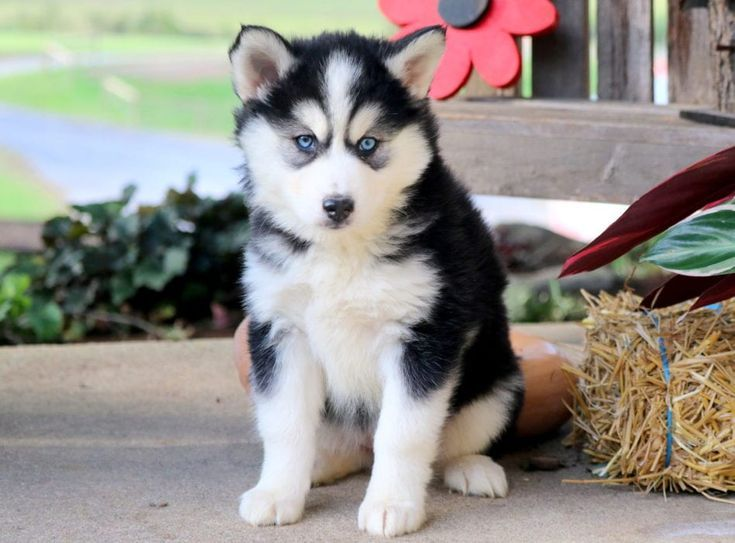 Dalilah Pomsky Puppies Pomsky Puppies For Sale Puppies