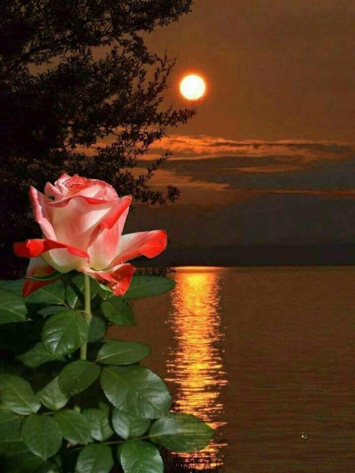 Днем, две розы картинки спокойной ночи