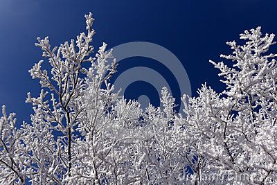 Frost branches trees in frosty day with blue sky in winter