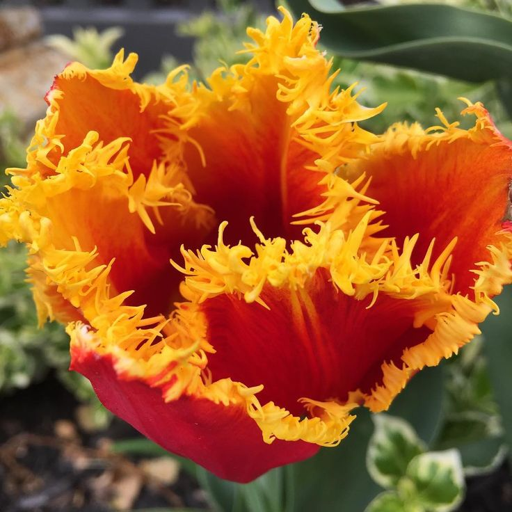 What fertilizer for spring bulbs?
