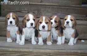 beagles for sale - Google Search