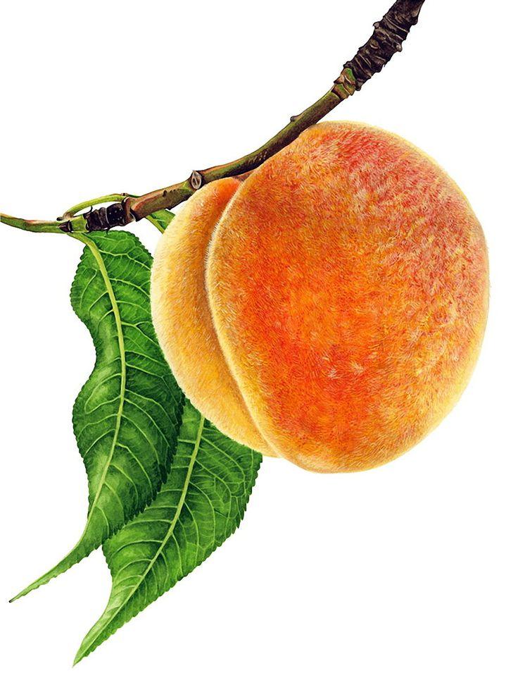 также картинка ветка абрикос может быть длинноплетистой