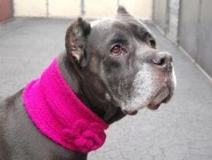 Zena is an adopted #Cane #Corso #Mastiff Dog in Media, PA.