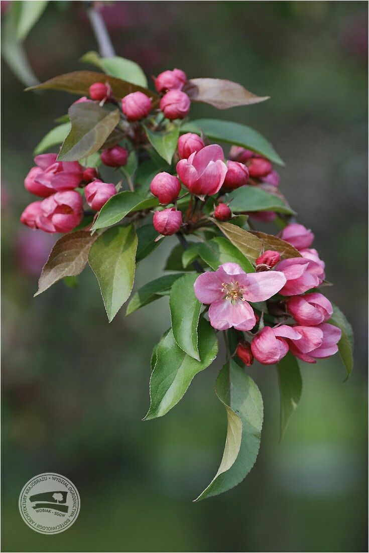 #krab ale nie w morzu tylko w sadzie - popularny #zapylacz jabłoni #Malus #jabłoń #różowate #kwiaty #sadownictwo #sad #ogrodnictwo #WOBiAK #SGGW 🌸🌸🌸 #flowering #crabapple blooms popular #pollenizer #Malus #apple #rosaceae #flowers #fruitgrowing #orchard #horticulture #WULS