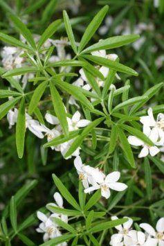 BM Plants Choisya × dewitteana 'Aztec Pearl' AGM , 1L , Mexican Orange Blossom , ShrubFragrant