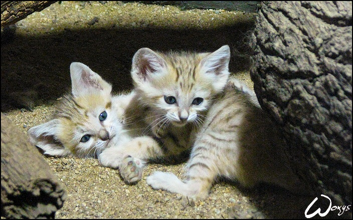 Arabian Sand_cat_kittens Sand cat, Small wild cats, Kittens