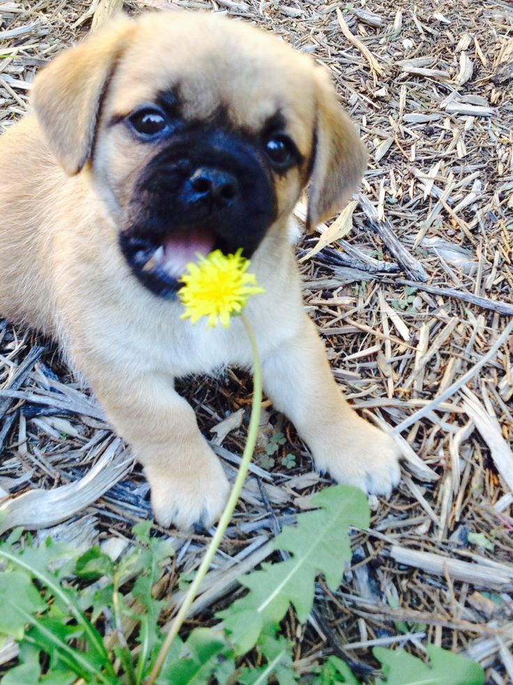 Our Baby Emma - momma is a Pug and daddy is a Shih Tzu. She is adorable!