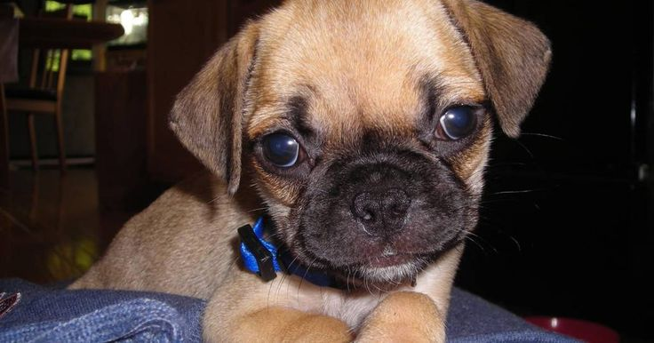 Dog mixes, hybrid dogs, designer dogs, mixed breed dogs, mutts... There are a lot of names for these puppy dogs, but I just call them cute puppies. This is a list of the cutest dog mixes with the cute photos of hybrids. Some of the cutest dog breeds come from mixing breeds. Sometimes it's to get th...