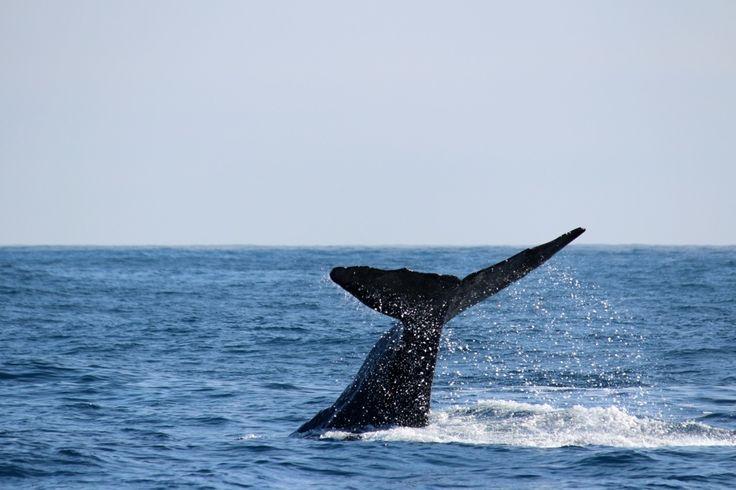 Marine wildlife watching in Kaikoura - Sperm Whale