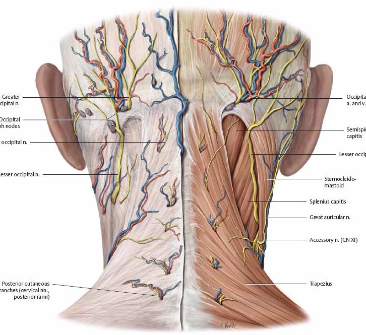 Экология жизни: Здоровье. Упражнения для растяжения и разгрузки затылка эффективны для перераспределения напряжения в костях и перераспределения мышечного тонуса по телу.