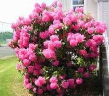 Beautiful flowering shrubs and plants at Garden Delights Online Plant Nursery ! Check them out and order today http://www.onlineplantnursery.com