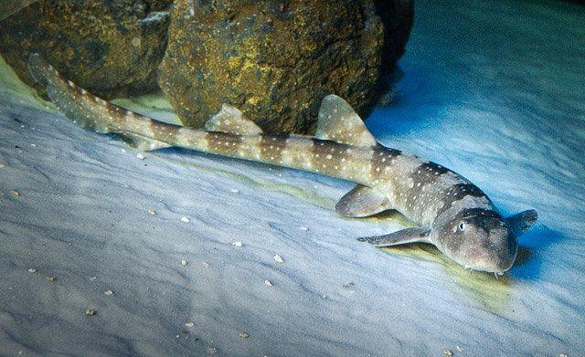 Bamboo Shark Bamboo Shark Sharks Pinterest