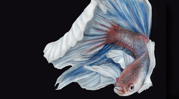 Siamese fighting fish illustration - on Behance