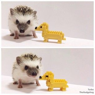 """""""Gotta take the dog out for a walk, even in this weather!""""   A Day In The Adorable Life Of Turbo The Hedgehog"""