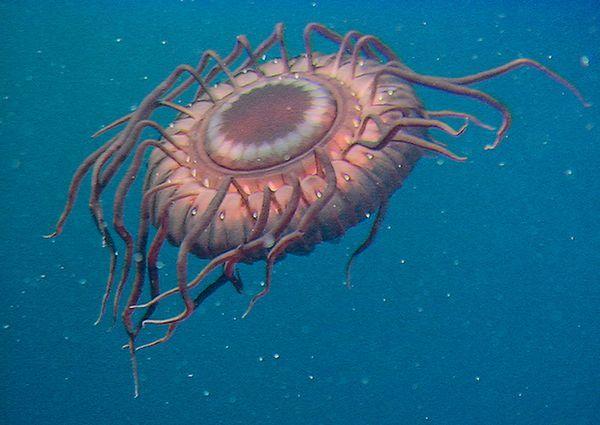 Flashing jellyfish