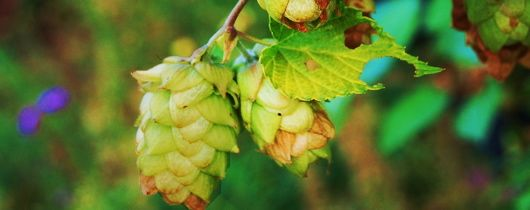 Pickled hops are showing up in brewery restaurants alongside of the brews.
