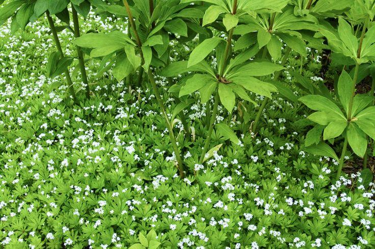 Myskmadra, Galium odoratum, blommar skirt i maj/juni med underbar doft. Passar som undervegetation på stora ytor (här med liljor från Drömparken, Enköping). Blir ca 15 cm hög. Halvskugga-skugga.