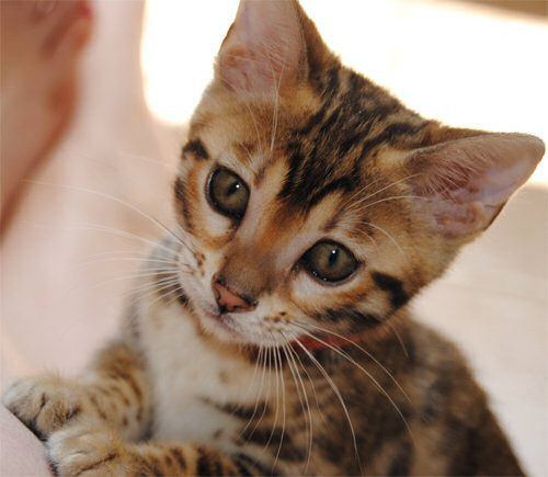 A Bengal Cat For Sale 1000+ ideas abo...