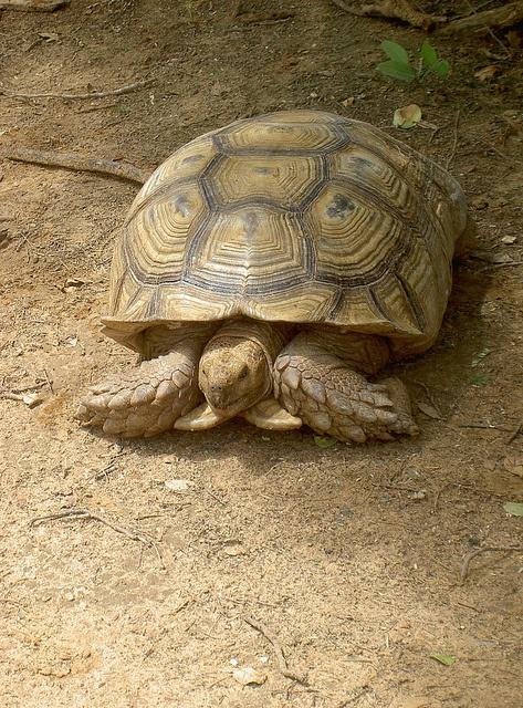 PICKenyaT0848 by Flygstolen, via Flickr #Kenya #Africa #Afrika #Animal #Safari #Travel #Adventure #Resa #Äventyr #Resmål #Nature #Natur #sköldpadda #turtle