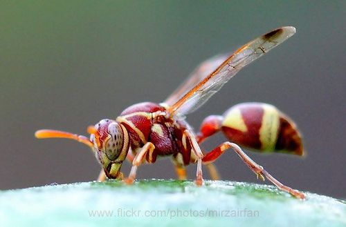 red wasp