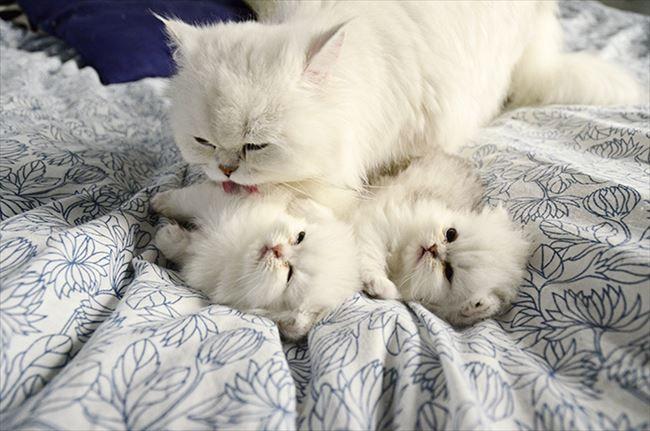 母猫は生後1カ月の我がプチにゃんたちを甲斐甲斐(かいがい)しく世話します