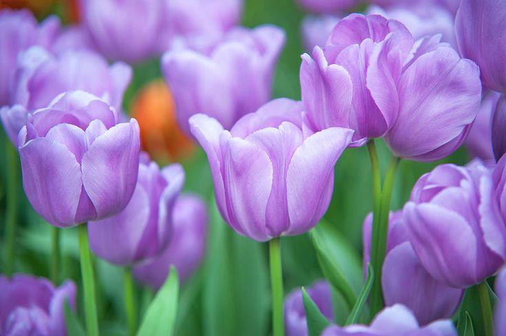 Field Of Purple Tulips Photograph by Jenny Rainbow