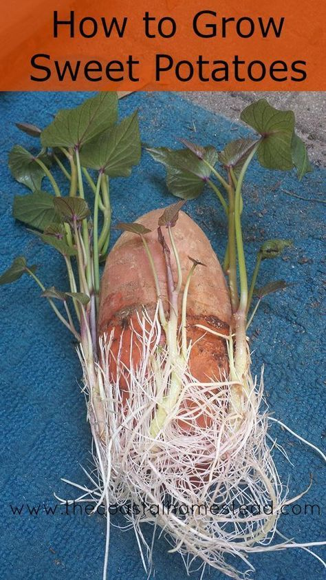 How to grow sweet potatoes in 5 easy steps.
