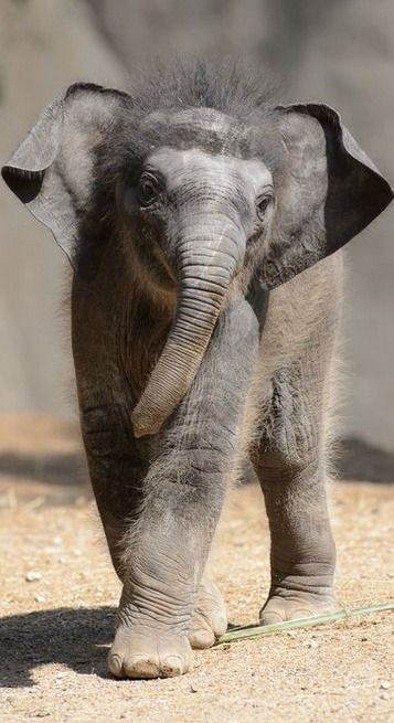 three week old baby elephant.... Looks like she/he has a pep in their step! Love it!!