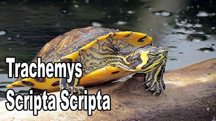 En este vídeo vamos a hablar sobre la tortuga trachemys scripta scripta y explicar la diferencia entre una scripta scripta y una scripta troosti, muy fácil. ...