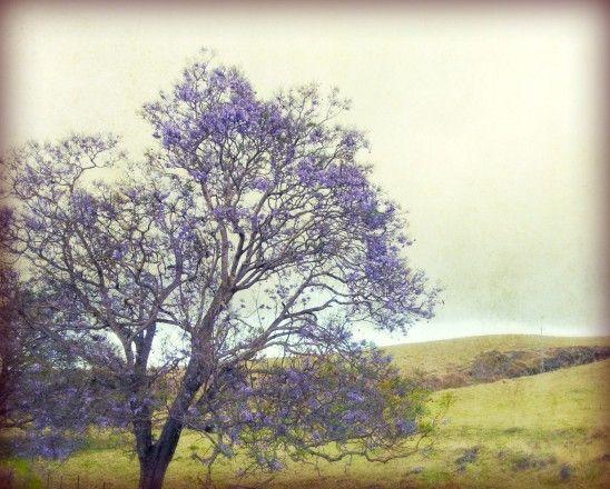 14 Best Jacaranda Images On Pinterest Jacaranda Trees